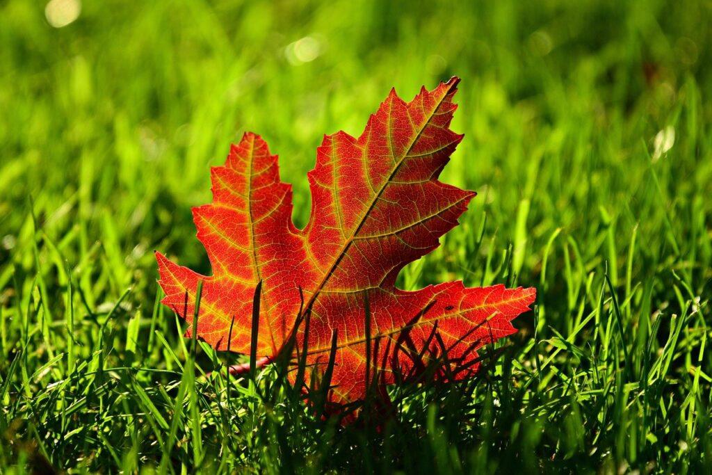 maple leaf, fall, leave